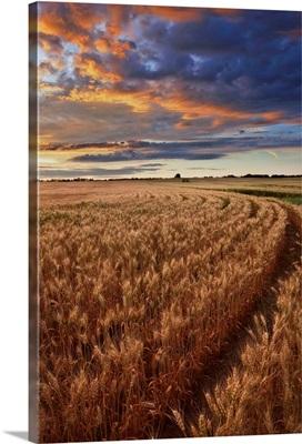 Sunrise Over A Barley Field On A Farm In Central Alberta, Canada