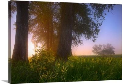 Sunrise Streaming Through Foggy Trees In Summer, Central Alberta, Canada