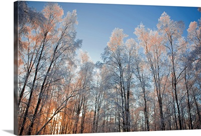 Sunset light shining through hoarfrost covered birch trees in Russian Jack Park