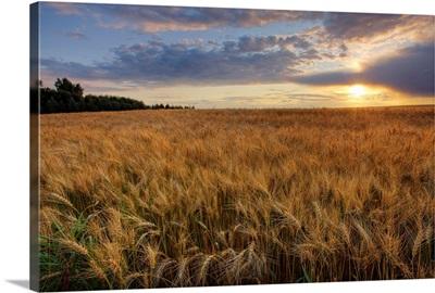 Sunset Over Field Of Ripe Barley, Alberta, Canada