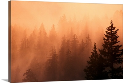 Sunset Through Dense Fog, Pine Tree Silhouettes, Mount Hood National Forest