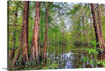 Swamp, Southern Louisiana, USA