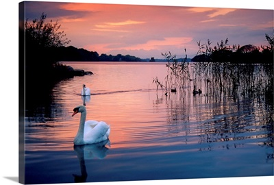 Swan at Sunset on Lough Leane, Killarney National Park, County Kerry, Ireland