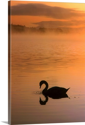 Swan in Lough Leane, Lakes Of Killarney, County Kerry, Ireland