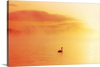 Swan In The Water Covered By Mist, Lough Leane, Killarney, County Kerry, Ireland