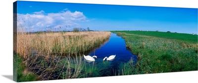 Swans On Bog, Near Newcastle, Co Wicklow, Ireland