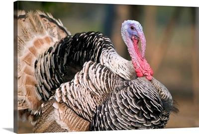 Thailand, Nong Bua Lumphu, Male Turkey With Plumage On Farm