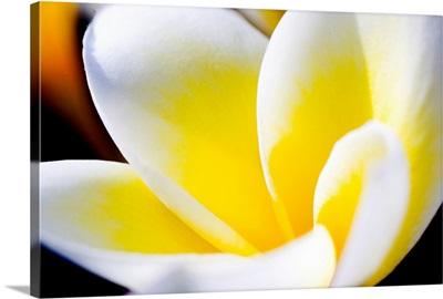 Thailand, Phuket, Kata Noi, Close Up Of Plumeria Flower
