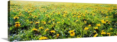 The Burren, County Clare, Ireland, Field Of Dandelions