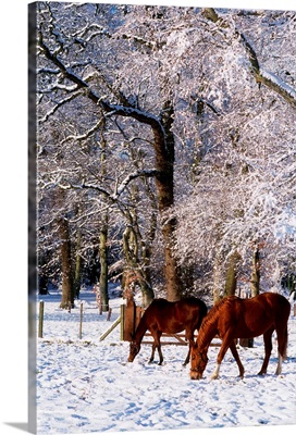 Thoroughbred Horses, Mares In Snow, Ireland