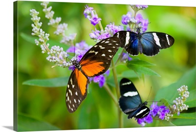 Three Colorful Butterflies On Blossoms In Spring; Oregon, USA