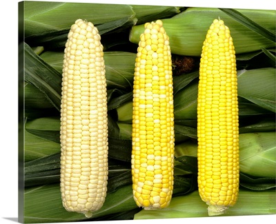 Three ears of sweet corn, white, yellow-white and yellow, on unhusked ears