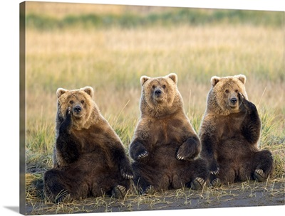Three grizzlies sitting in meadow scratching faces Katmai National Park Alaska