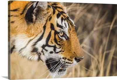 Tiger In The Wild, Ranthambhore National Park, Northern India, Rajasthan, India
