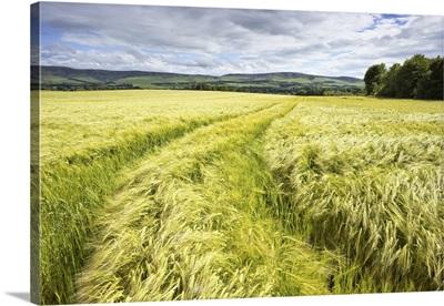 Tire Tracks In Wheat Field, East Lothian, Scotland