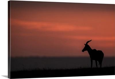 Topi On The Horizon At Sunset, Maasai Mara National Reserve, Kenya