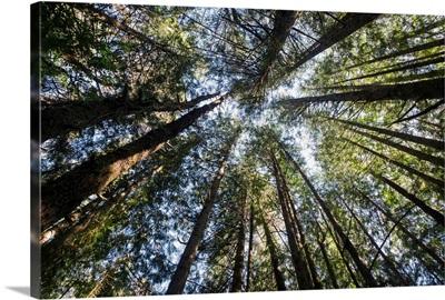 Towering treetops, Florence, Oregon, USA
