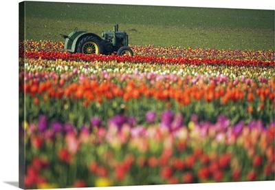 Tractor In Tulip Field