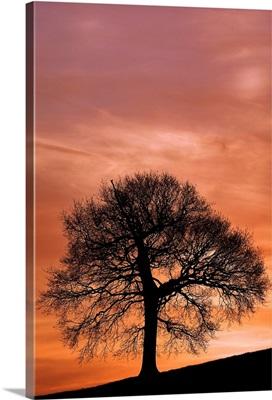 Tree Against A Sunset Sky, Nottinghamshire, England