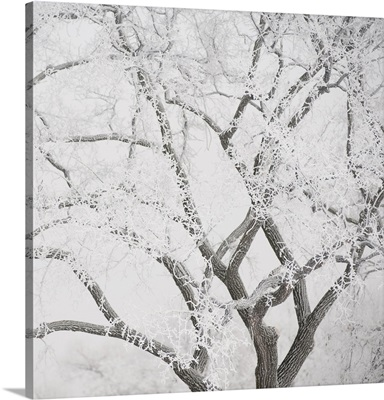 Tree Branches Covered In Snow, Winnipeg, Manitoba, Canada