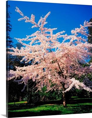 Tree In Blossom in Powerscourt Gardens, Powerscourt Estate, Ireland