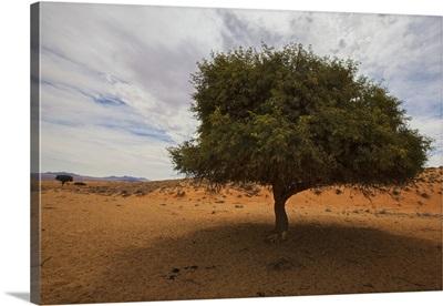 Tree In Desert, Namibia