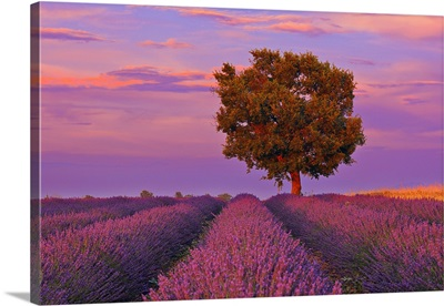 Tree In Lavender Field At Sunset, Valensole Plateau, Provence-Alpes-Cote DoAzur, France