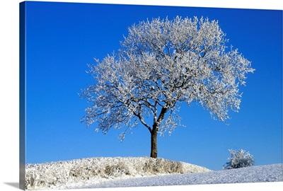 Tree In Winter, County Down, Ireland