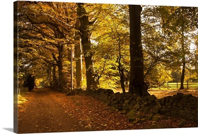 Tree Lined Road Covered With Fallen Leaves; Scottish Borders, Scotland