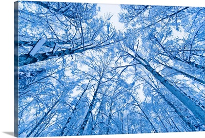 Tree top abstract of a snow covered Birch forest, winter, Anchorage, Alaska