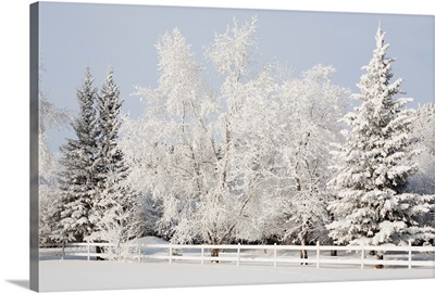 Trees Covered With Snow And Frost Calgary, Alberta, Canada