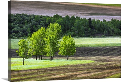 Trees in a grassy field surrounded by soil, West of High River, Alberta, Canada