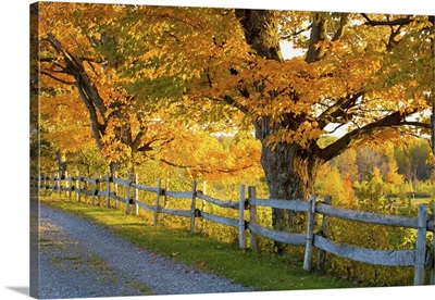 Trees In Autumn And A Fence Lined Road; Lawrenceville, Quebec, Canada