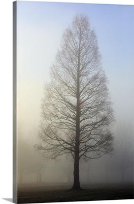 Trees Surrounded By Fog, Oregon Cascades, Oregon