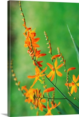 Tritonia Crocosmiflora Flowers, Growing In The Wild, Blurry Green Background