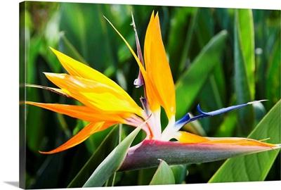 Tropical Bird of Paradise flower in full bloom Oahu, Hawaii