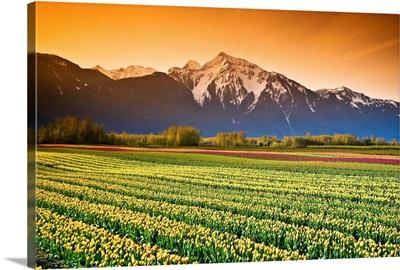 Tulip Fields, British Columbia, Canada