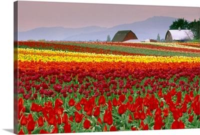Tulip Fields In Skagit Valley, Washington State, Usa