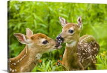 Twin White-tailed deer fawns nuzzling together in meadow Minnesota Spring Captive