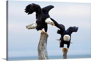 Two Bald Eagles Perched On Driftwood Near Homer Alaska