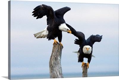 Two Bald Eagles perched on driftwood near Homer, Alaska, Kenai Peninsula, Winter