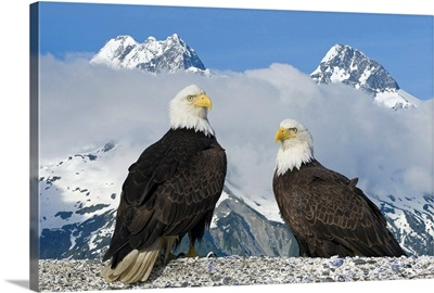 Two Bald Eagles perched on the beach in Lituya Bay