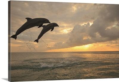 Two Bottlenose Dolphins (Tursiops Truncatus) Jumping At Sunset, Roatan, Honduras