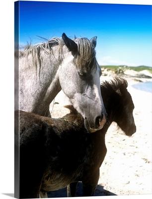 Two Connemara Ponies On The Coast, Connemara, Republic Of Ireland