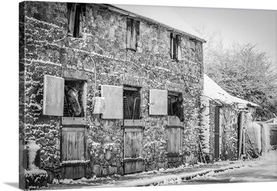 Two Horses Looking Out Of An Old Snow-Covered Stable, Rathcormac, County Cork, Ireland