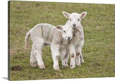 Two Lambs, Northumberland, England