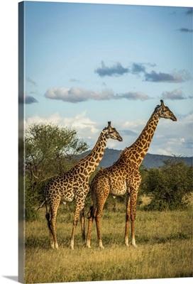 Two Masai Giraffe, Serengeti National Park, Tanzania