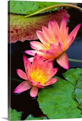 Two Pink Water Lily Flowers, Lily Pads