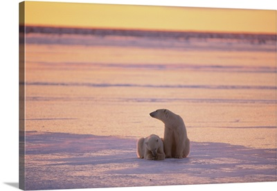 Two polar bears sit in dimming sunlight