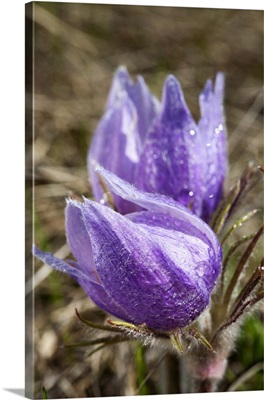 Two Prairie Crocuses With Water Droplets; Calgary, Alberta, Canada